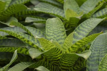 Pineapple plant, Neoregelia Spectabilis Hybrid.