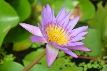 Lotus Flower or Water Lilly Blossom