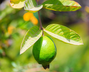 Unripe green fruit of the quince tree