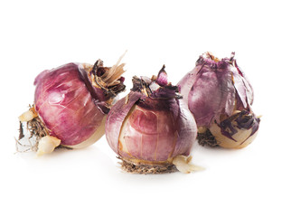 Three bulbs of hyacinth isolated on white.