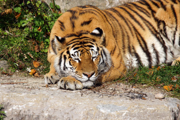 Big tiger cat sleeping