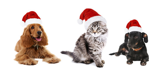 Cute pets in Santa hat isolated on white