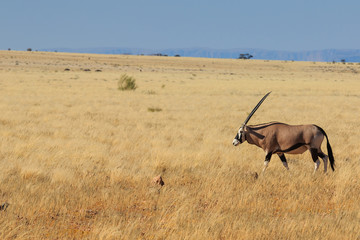 Gemsbok or gemsbuck oryx walking in Namib Desert