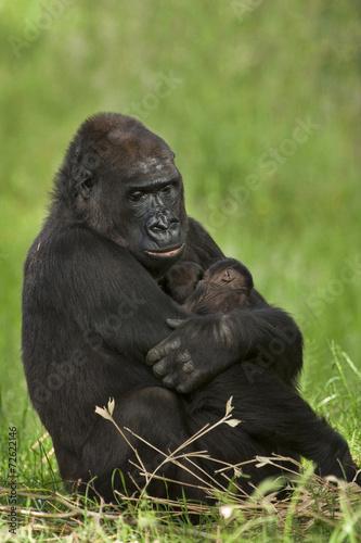 Foto op Canvas Aap Gorilla moeder met tweeling.
