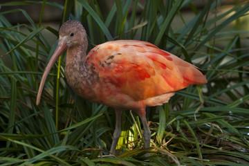 Rode ibis in een struikje.