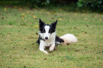 Border collie or Sheep dog