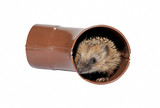 Small forest hedgehog frightened, gets out of the drainpipe poster