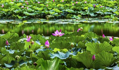 Lotus Garden Reflection Summer Palace Beijing China