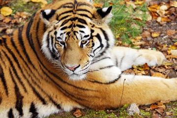 Amur tiger on natural ground