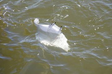 Devil Ray caught on fishing line  White underside