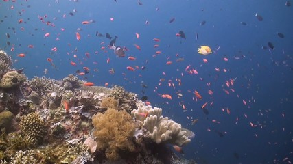 Coral reef with Grouper, Anthias and Fusilier