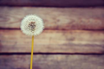 One white dandelion