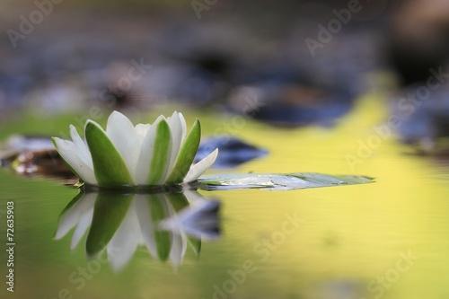 Deurstickers Lotusbloem lily white autumn pond