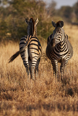 Two zebras on the African savannah vertically