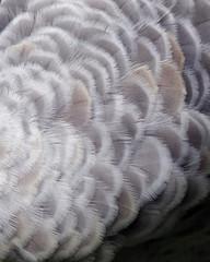 Sandhill crane feather background