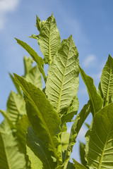 Green tobacco plants.