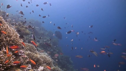 A sloping reef with a Napoleon wrasse and many small fish