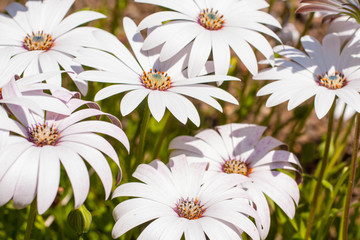 White osteospermum