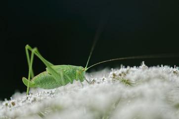 Green grasshopper on a white flower