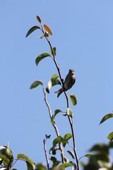 House Finch (F) (Carpodacus mexicanus) on Branch)