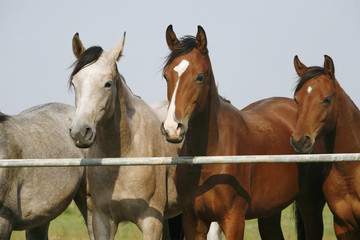 Two thoroughbred young horses standing at the corral gate