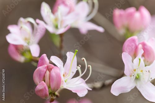 Foto op Plexiglas Azalea spring time - weiße Azalee