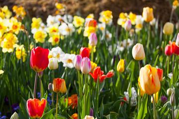 spring time - bunte Blumenwiese im Frühling mit Tulpen und Narz