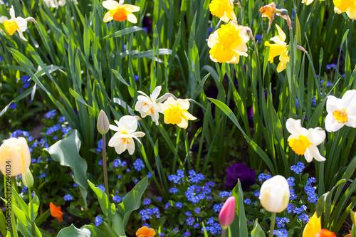 Fotobehang Pansies spring time - bunte Blumenwiese im Frühling mit Tulpen und Narz