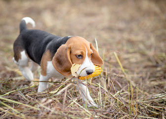 Beagle puppy playing with a corn in its mouth