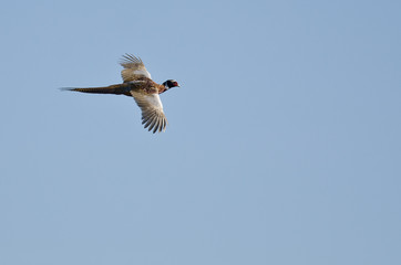 Ring-Necked Pheasant Flying in a Blue Sky