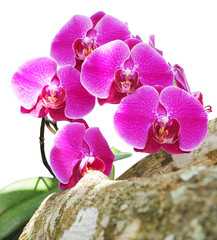 orchid flowers isolated on white with clipping path