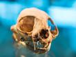 Постер, плакат: Animal skull with fang