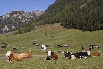 Kühe auf der Tschey Wiesen