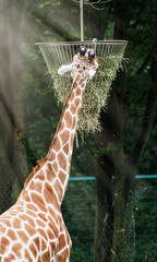 The reticulated giraffe feeding hay