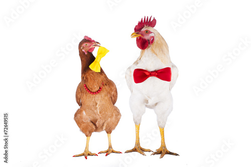 Fotobehang Kip hen and rooster choose a tie for the holiday