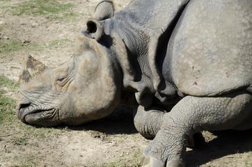Dead one-horned rhino