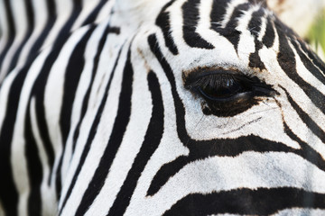 zebra in field