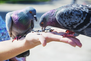 Two pigeons are eating sunflower seeds