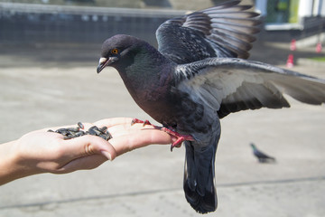 Pigeon on hand