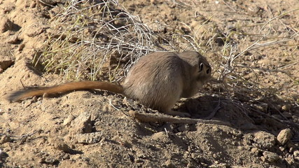 Gopher Drags Twig