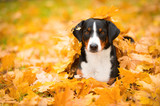 Tricolor Appenzeller Mountain Dog lying on maple leaves - 72660570