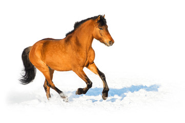 Bay horse runs gallop on the white background
