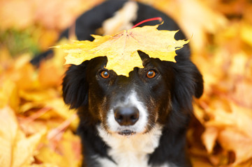 Black dog and maple leaf, autumn