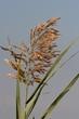 cannuccia di palude (Phragmites australis)