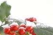 rote Beeren der Stechpalme mit Schnee