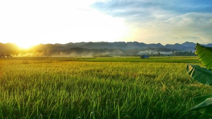 Rice field at sun rise time