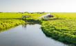 Dutch cows in a polder landscape