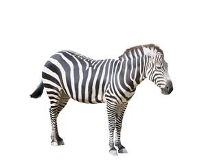 Adult Zebra on White
