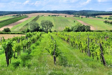 Agriculture in Europe - vineyard in Austria