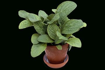 Borretsch; Borretschbluete; Borago officinalis;